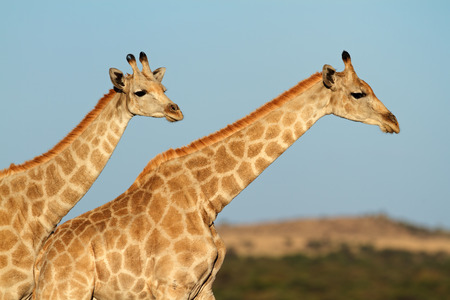 giraffa: Close-up of two giraffes - Giraffa camelopardalis - against a blue sky, South Africa Stock Photo
