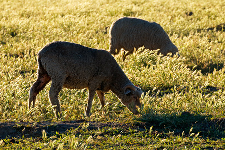 merino sheep: Merino sheep grazing on pasture in late afternoon light, Karoo region, South Africa