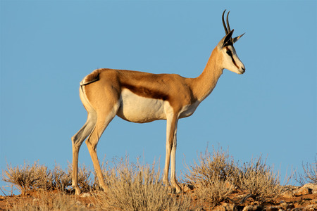 springbuck: A female springbok antelope - Antidorcas marsupialis - against a blue sky, Kalahari desert, South Africa