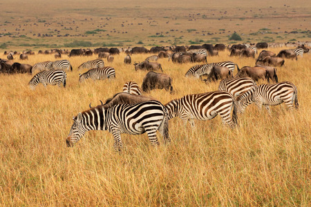 taurinus: Plains zebras and blue wildebeest grazing in grassland, Masai Mara National Reserve, Kenya