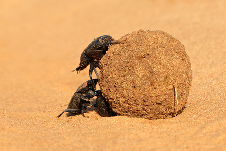dung: Dung beetles rolling their sand covered dung ball, South Africa