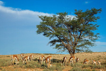 marsupialis: Landscape with Acacia tree and springbok antelopes - Antidorcas marsupialis, Kalahari desert, South Africa