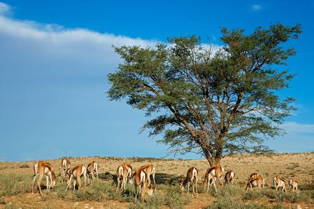 springbuck: Landscape with Acacia tree and springbok antelopes - Antidorcas marsupialis, Kalahari desert, South Africa
