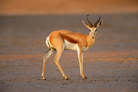 marsupialis: A springbok antelope - Antidorcas marsupialis - in late afternoon light, Kalahari desert, South Africa