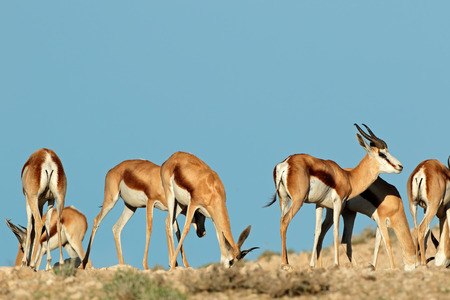 kalahari: Springbok antelopes - Antidorcas marsupialis - against a blue sky, Kalahari desert, South Africa Stock Photo