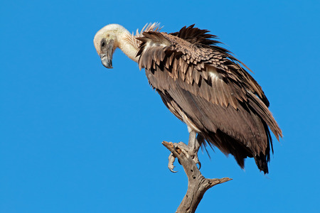 beak vulture: A white-backed vulture (Gyps africanus) on a branch against a blue sky, South Africa