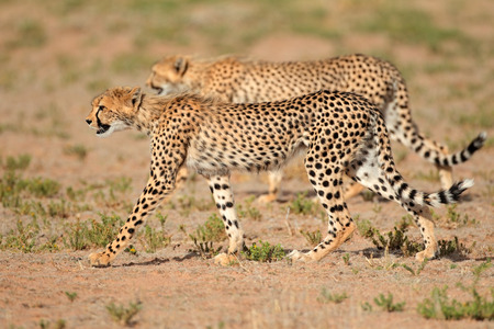 kalahari: Two stalking cheetahs - Acinonyx jubatus, Kalahari desert, South Africa