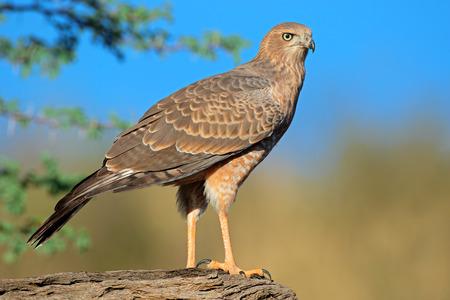 goshawk: Immature Pale Chanting goshawk - Melierax canorus, Kalahari desert, South Africa