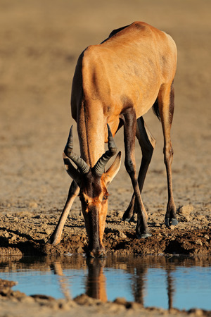 kalahari desert: Red hartebeest - Alcelaphus buselaphus - drinking water, Kalahari desert, South Africa