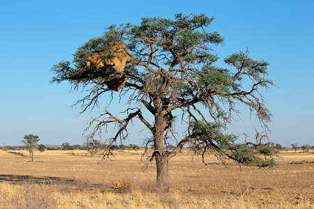 communal: African Acacia tree with communal nest of sociable weavers - Philetairus socius, Kalahari, South Africa