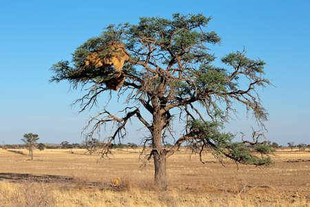 sociable: Albero di acacia africana con nido comunale di tessitori socievole - socius Philetairus, Kalahari, Sud Africa Archivio Fotografico