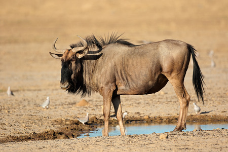 at waterhole: Ñu azul - Connochaetes taurinus - en una charca, desierto de Kalahari, Sudáfrica