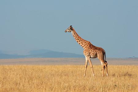giraffa: Masai giraffe - Giraffa camelopardalis tippelskirchi, Masai Mara National Reserve, Kenya