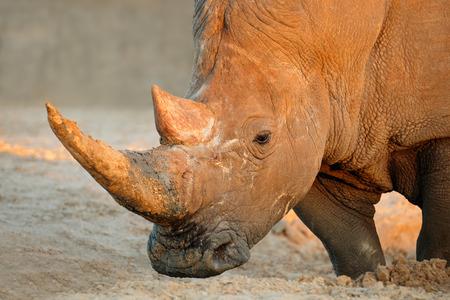 africa: Portrait of a white rhinoceros (Ceratotherium simum), South Africa
