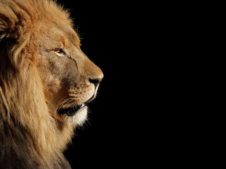 dangerous lion: Side portrait of a big male African lion (Panthera leo) against a black background, South Africa
