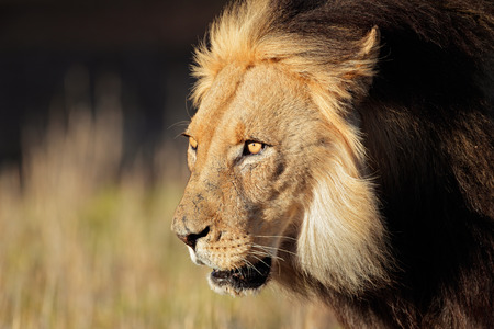 ferocious: Portrait of a big male African lion - Panthera leo, Kalahari desert, South Africa