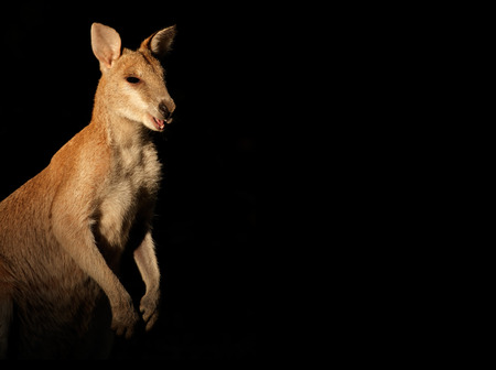 wallaby: Agile Wallaby - Macropus agilis - on black, Australia