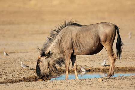 pozo de agua: Ñu azul - Connochaetes taurinus - en una charca, desierto de Kalahari, Sudáfrica