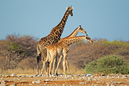 natural habitat: Giraffes - Giraffa camelopardalis - in natural habitat, Etosha National Park, Namibia