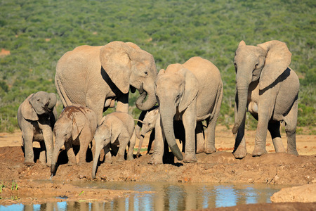 herbivore natural: Family of African elephants (Loxodonta africana) at a waterhole, Addo Elephant National Park, South Africa LANG_EVOIMAGES
