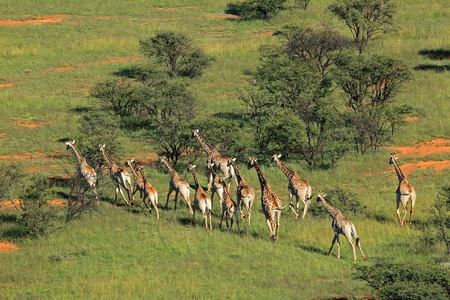 aerial animal: Aerial view of a herd of giraffes - Giraffa camelopardalis - in natural habitat, South Africa
