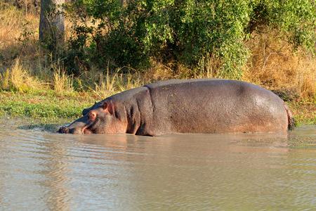 sabie sand: Hippo - Hippopotamus amphibius - in shallow water, Sabie-Sand nature reserve, South Africa
