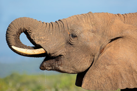 big5: Portrait of an African elephant (Loxodonta africana) drinking water, Addo Elephant National park, South Africa LANG_EVOIMAGES