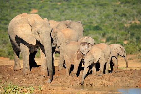 big5: Family of African elephants - Loxodonta africana - at a waterhole, Addo Elephant National Park, South Africa