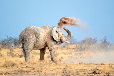 big5: Mud covered African elephant - Loxodonta africana - throwing dust, Etosha National Park, Namibia Stock Photo