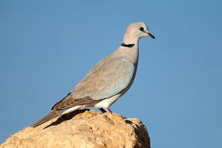 turtle dove: Cape turtle dove - Streptopelia capicola - perched on a rock, Kalahari, South Africa