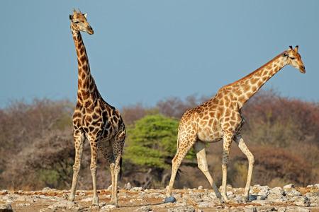 giraffe: Jirafas - Giraffa camelopardalis - en el h�bitat natural, el Parque Nacional de Etosha, Namibia