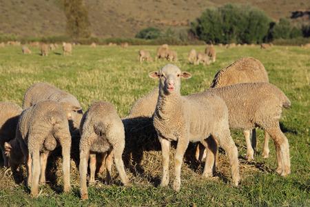 merino sheep: Merino lambs grazing on green pasture, Karoo region, South Africa