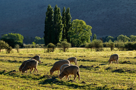 merino sheep: Rural landscape with trees, pasture and grazing sheep in late afternoon light, Karoo region, South Africa Stock Photo