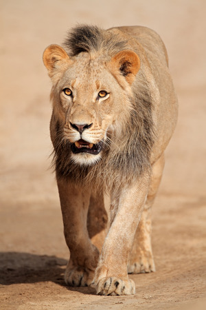 kalahari: Male African lion walking  Panthera leo Kalahari desert South Africa