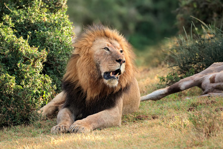 guarding: Big male African lion Panthera leo guarding his prey South Africa Stock Photo