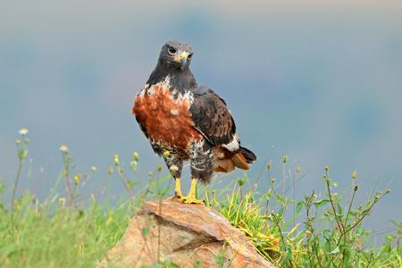 buzzard: A jackal buzzard Buteo rufofuscus perched on a rock South Africa