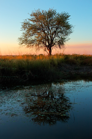 africa tree: Sunset with silhouetted Acacia tree and reflection in water southern Africa