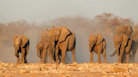 big5: African elephant Loxodonta africana herd in dust Etosha National Park Namibia LANG_EVOIMAGES