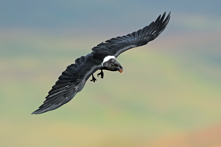 white necked: A white-necked raven (Corvus albicollis) in flight, South Africa Archivio Fotografico
