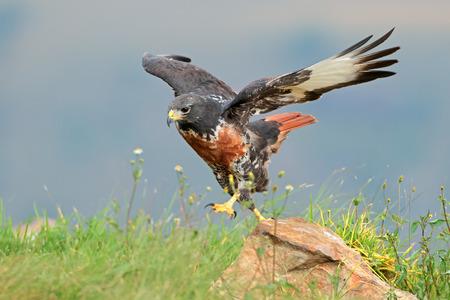 buzzard: A jackal buzzard (Buteo rufofuscus) on a rock, South Africa