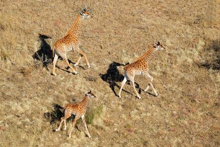 giraffa: Aerial view of running giraffes (Giraffa camelopardalis), South Africa Stock Photo