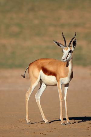 marsupialis: A female springbok antelope (Antidorcas marsupialis), Kalahari desert, South Africa Stock Photo