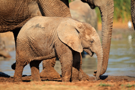 south africa nature: A cute baby African elephant (Loxodonta africana), Addo Elephant National Park, South Africa