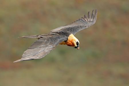 endangered: An endangered bearded vulture (Gypaetus barbatus) in flight, South Africa LANG_EVOIMAGES