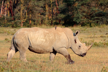 big5: A white rhinoceros Ceratotherium simum Lake Nakuru National Park Kenya
