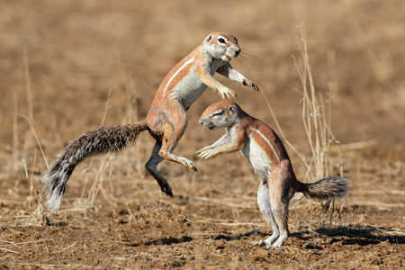 kalahari: Two ground squirrels Xerus inaurus playing Kalahari desert South Africa Stock Photo