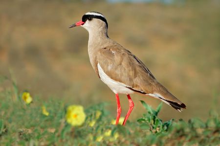 plover: A crowned plover Vanellus coronatus in natural habitat South Africa