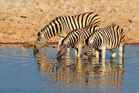 cebra: Llanuras Burchells cebras Equus burchelli agua potable Parque Nacional de Etosha de Namibia