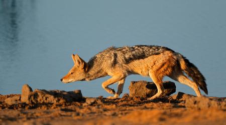 elusive: A blackbacked Jackal Canis mesomelas stalking Etosha National Park Namibia Stock Photo