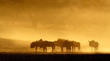 taurinus: Blue wildebeest Connochaetes taurinus in dust at sunrise Kalahari desert South Africa